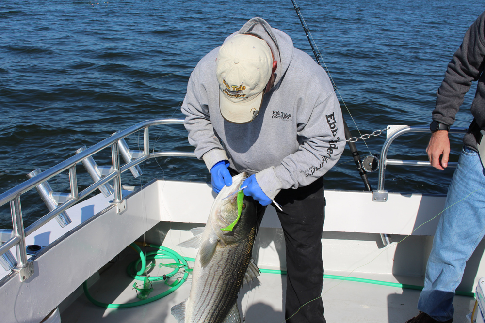 giant striped bass