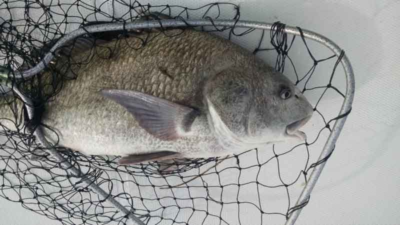 black drum in a net