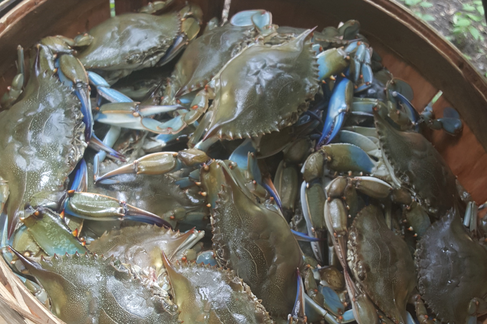blue crabs in chesapeake bay