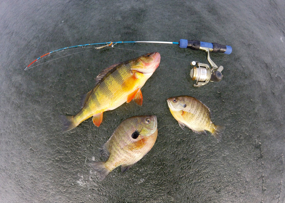 A bunch of panfish caught while ice fishing