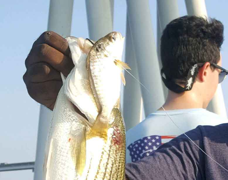 striper caught live lining