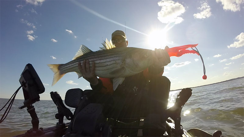 striped bass caught on old town topwater pdl