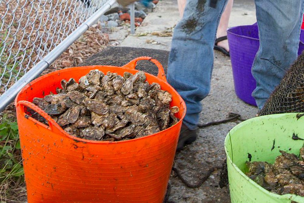 oysters from chesapeake bay