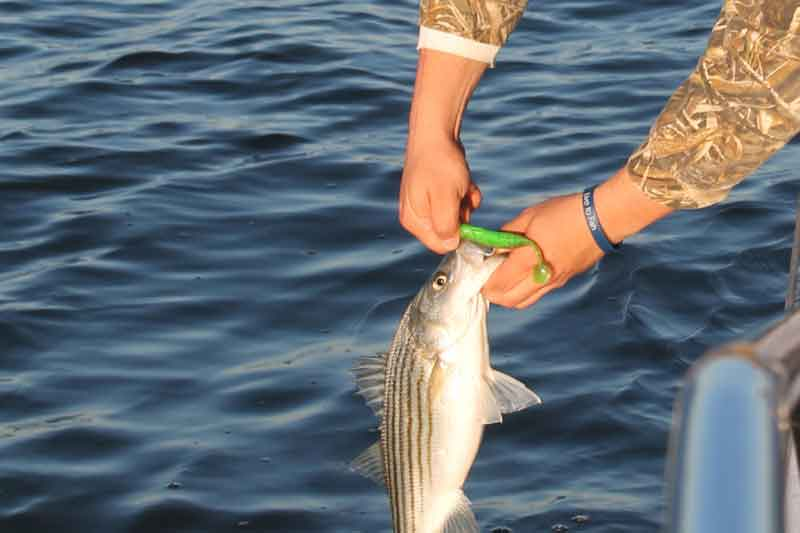 rockfish on a paddletail lure