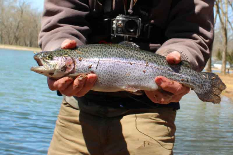 hatchery raised rainbow trout