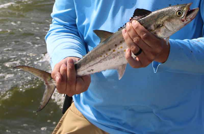 angler holds a spanish mackerel