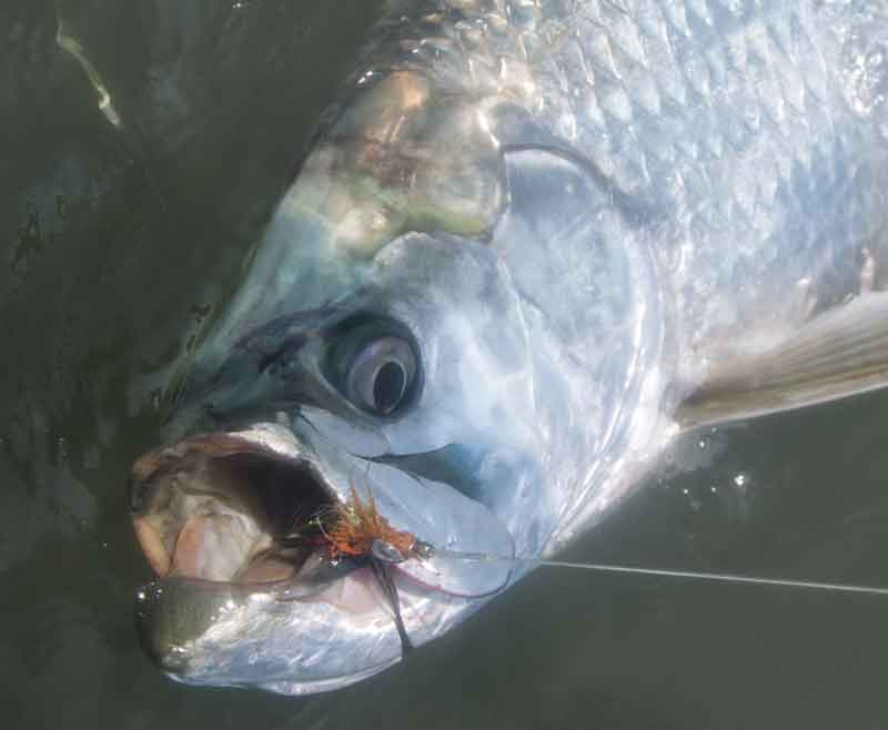 tarpon that ate a fly