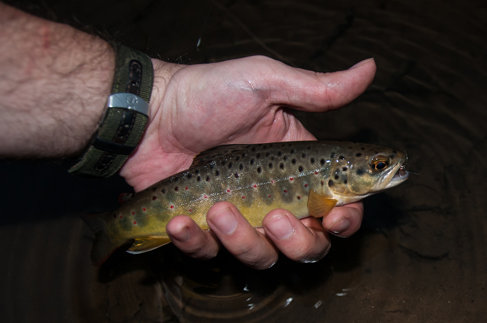 brook trout caught fly fishing